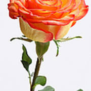 A Rose Is A Rose Is A Rose Poster by Juergen Roth