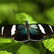 A Sara Longwing Butterfly Heliconius Poster