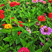 A Sea Of Zinnias 04 Poster