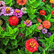 A Sea Of Zinnias 05 Poster