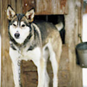 A Sled Dog Stands By Its Kennel Poster