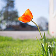 A Spring Tulip Poster