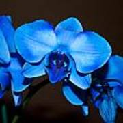 A Stem Of Beautiful Blue Orchids Poster