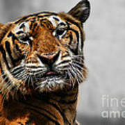 A Tiger's Look Poster
