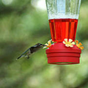 A Tiny Little Ruby-throated Hummingbirds Poster