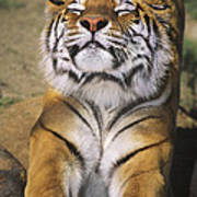 A Tough Day Siberian Tiger Endangered Species Wildlife Rescue Poster