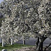 A Tree In Arlington Poster
