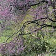 A View Of A Blooming Redbud Tree Poster