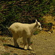 A Young Mountain Goat Poster
