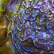 Abalone Shell 6 Poster