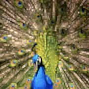 Abstract Peacock Digital Artwork Poster