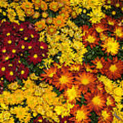 Abundance Of Yellows Reds And Oranges Poster