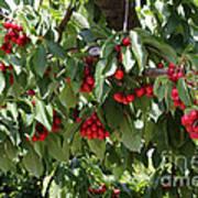 Abundant Cherries Poster
