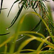 Acacia Water Drops Poster