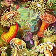 Actinia Sea Creatures Poster