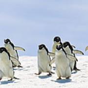 Adelie Penguin Group Running Antarctica Poster