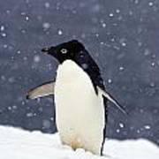 Adelie Penguin Standing In Fresh Poster