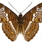 Admiral Limenites Butterfly Poster