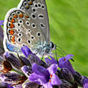 Adonis Blue Butterfly Of Monteriggioni Poster