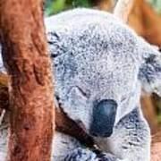Adorable Koala Bear Taking A Nap Sleeping On A Tree Poster