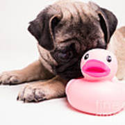 Adorable Pug Puppy With Pink Rubber Ducky Poster