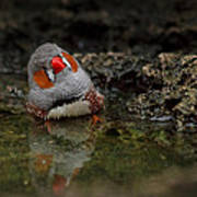 Adorable Zebra Finch Taking A Bath Poster