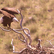 Adult Eagle With Eaglet  Poster