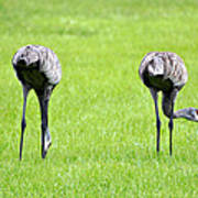 Adult Florida Sandhill Cranes Grus Canadensis Pratensis I Usa Poster