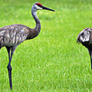 Adult Florida Sandhill Cranes Grus Canadensis Pratensis II Usa Poster