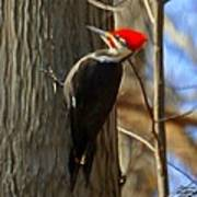 Adult Male Pileated Woodpecker Poster