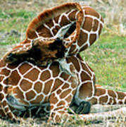 Adult Reticulated Giraffe Poster