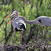 Affectionate Great Blue Heron Mates Poster