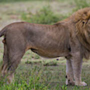 Africa Tanzania Male African Lion Poster