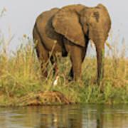 Africa, Zambia Elephant Next To Zambezi Poster