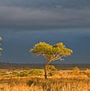African Acacia Sunrise Poster