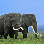 African Bull Elephants In Rain Endangered Species Tanzania Poster