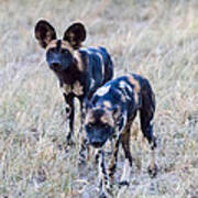 African Cape Hunting Dogs Poster