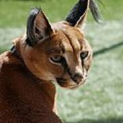 African Caracal Lynx  Poster