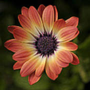African Daisy - Bicolor Osteospermum Poster