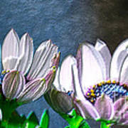 African Daisy Detail Poster