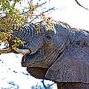 African Elephant Browsing In Kruger National Park-south Africa Poster
