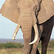African Elephant Bull Amboseli Poster