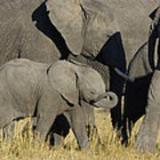 African Elephant Calf With The Herd Poster