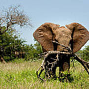 African Elephant Carying A Tree With Its Trunk Poster