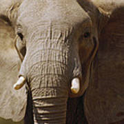 African Elephant Close Up Amboseli Poster