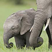 African Elephant Juvenile And Calf Kenya Poster