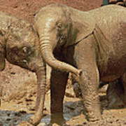 African Elephant Orphans Playing In Mud Poster