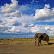 African Elephant Walking Masai Mara Poster