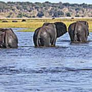 African Elephants Crossing Chobe River  Botswana Poster