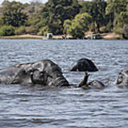 African Elephants Swimming In The Chobe River Poster